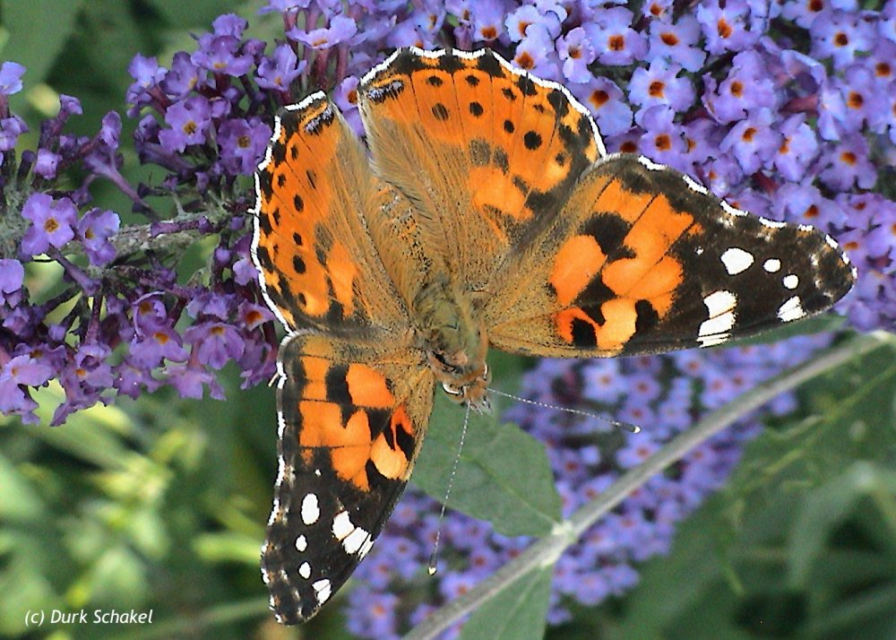 Painted Lady (European) - 2006