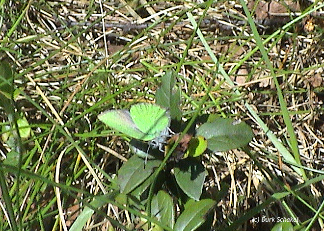 Green Hairstreak - 2008
