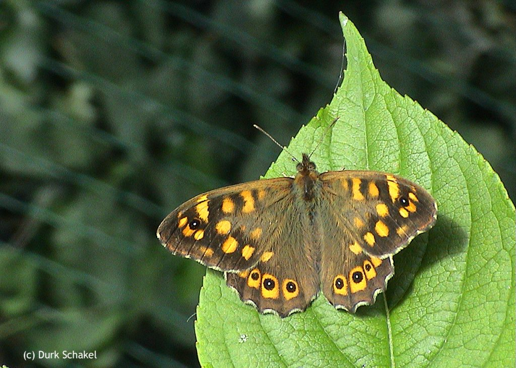 Speckled Wood - 2008