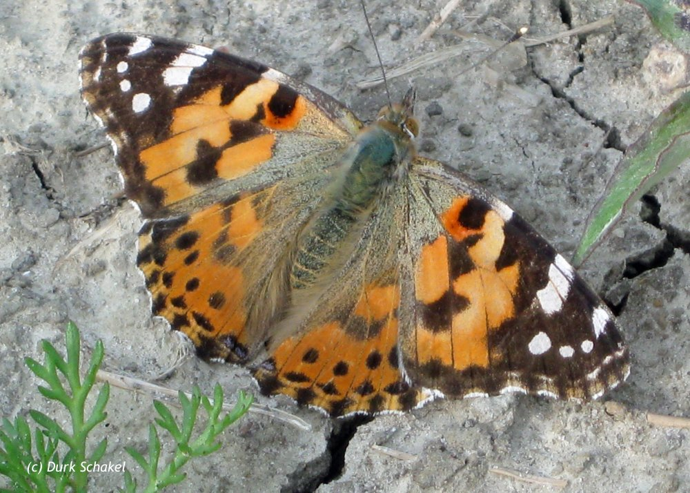 Painted Lady (European) - 2009