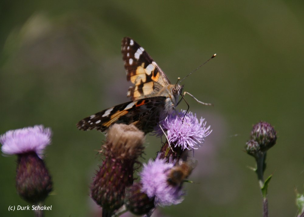 Painted Lady (European) - 2015