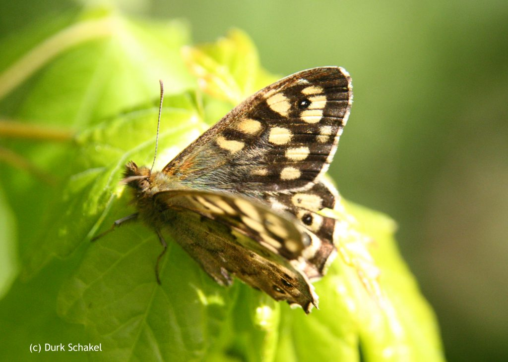 Speckled Wood - 2017