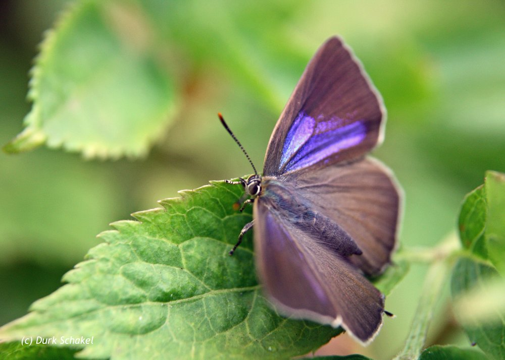 Purple Hairstreak - 2017