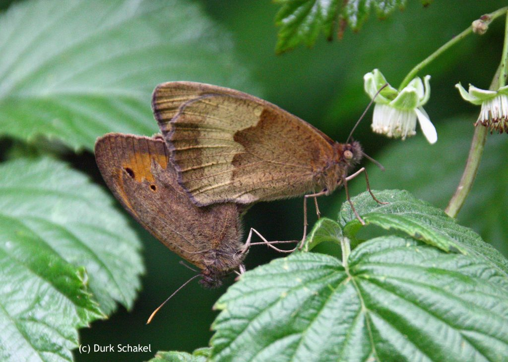 Meadow Brown - 2017