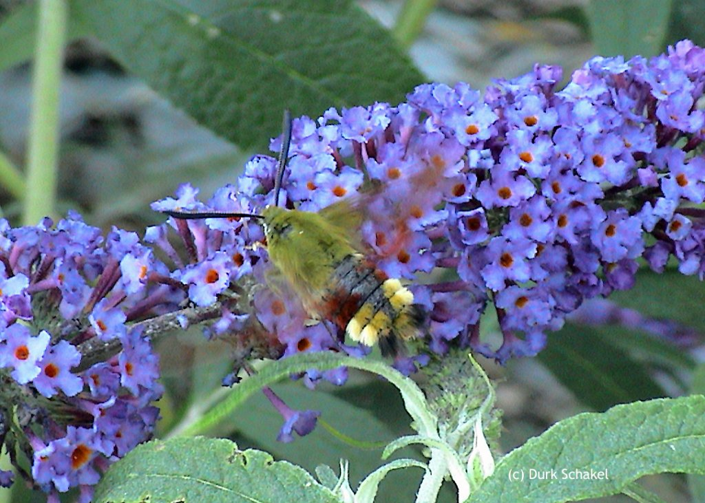 Broad-bordered Bee Hawkmoth - 2006