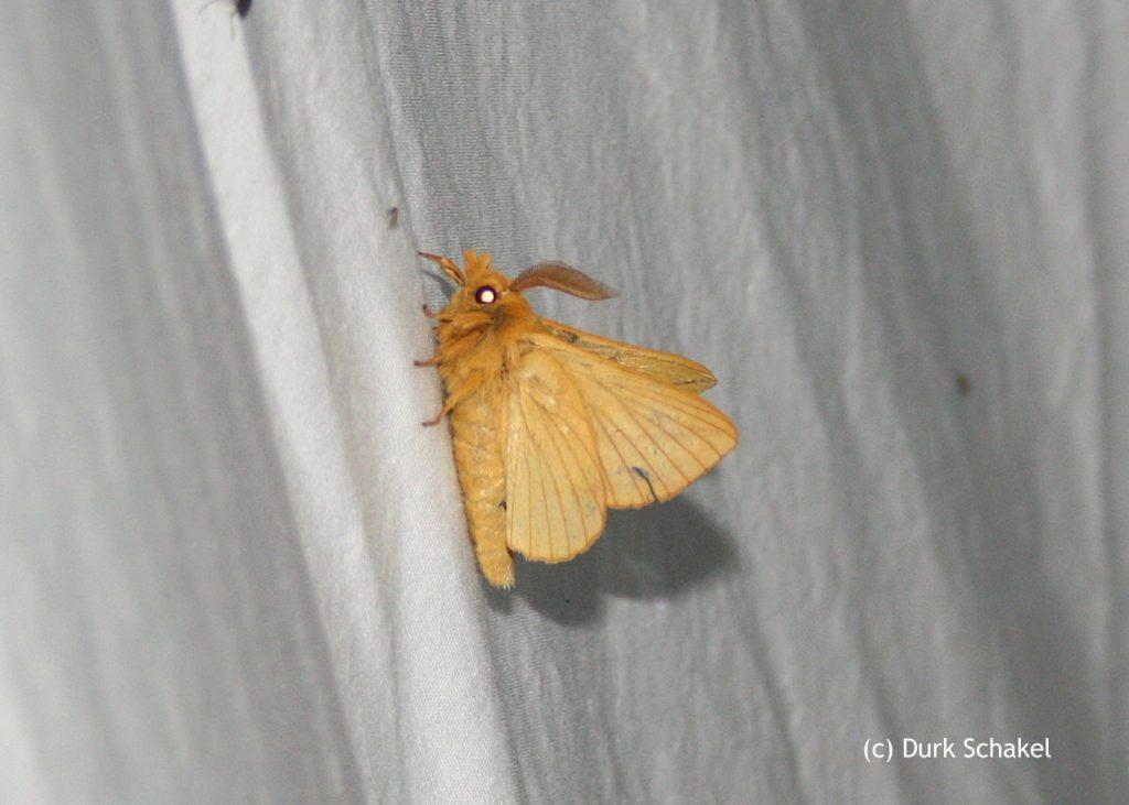 Drinker Moth - 2017