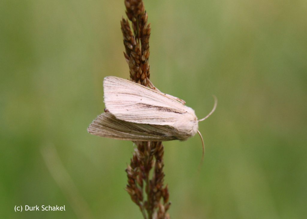 Common Wainscot - 2017