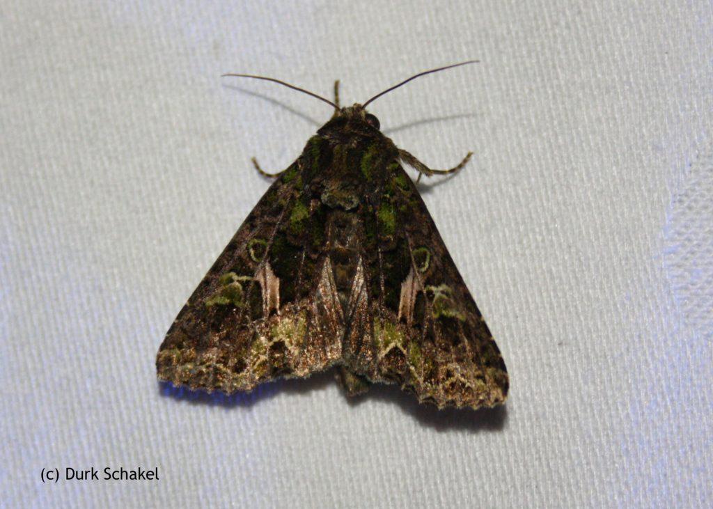 Orache Moth - 2017