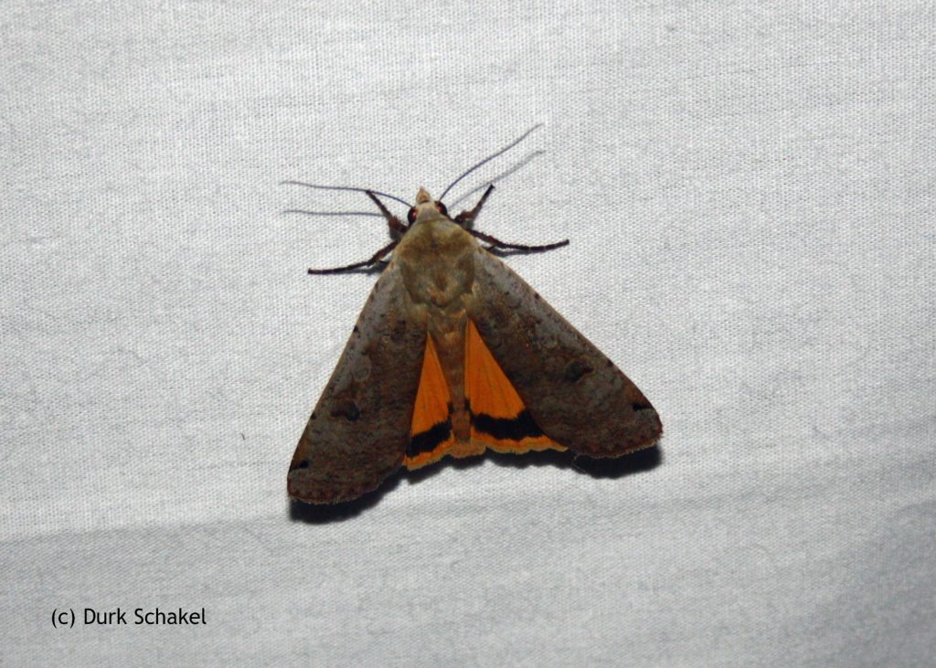 Large Yellow Underwing - 2017