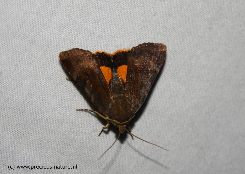 Lesser Broad-bordered Yellow Underwing - 2017