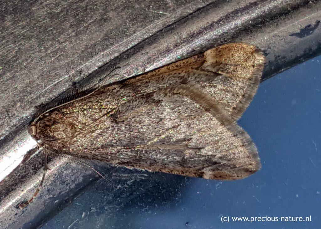 March Moth - 2018