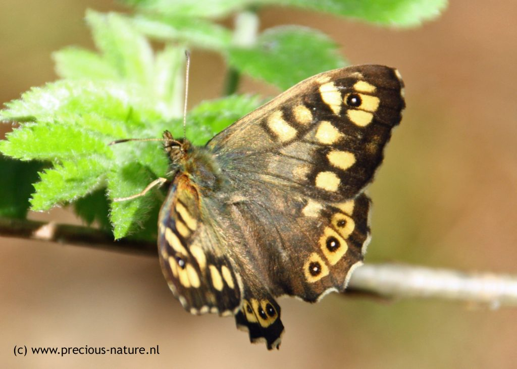 Speckled Wood - 2018