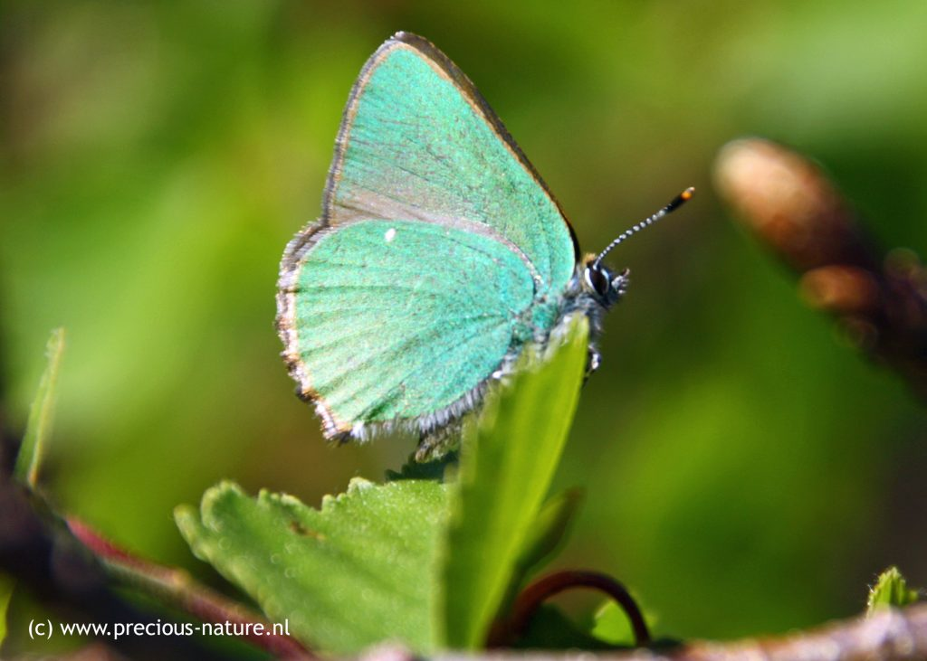 Green Hairstreak - 2018