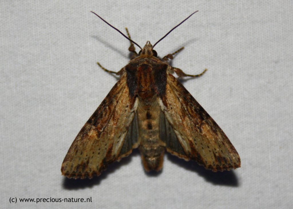 Clouded-bordered Brindle - 2018