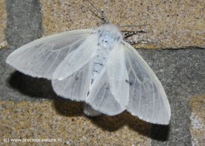 White Satin Moth (female) - 2018