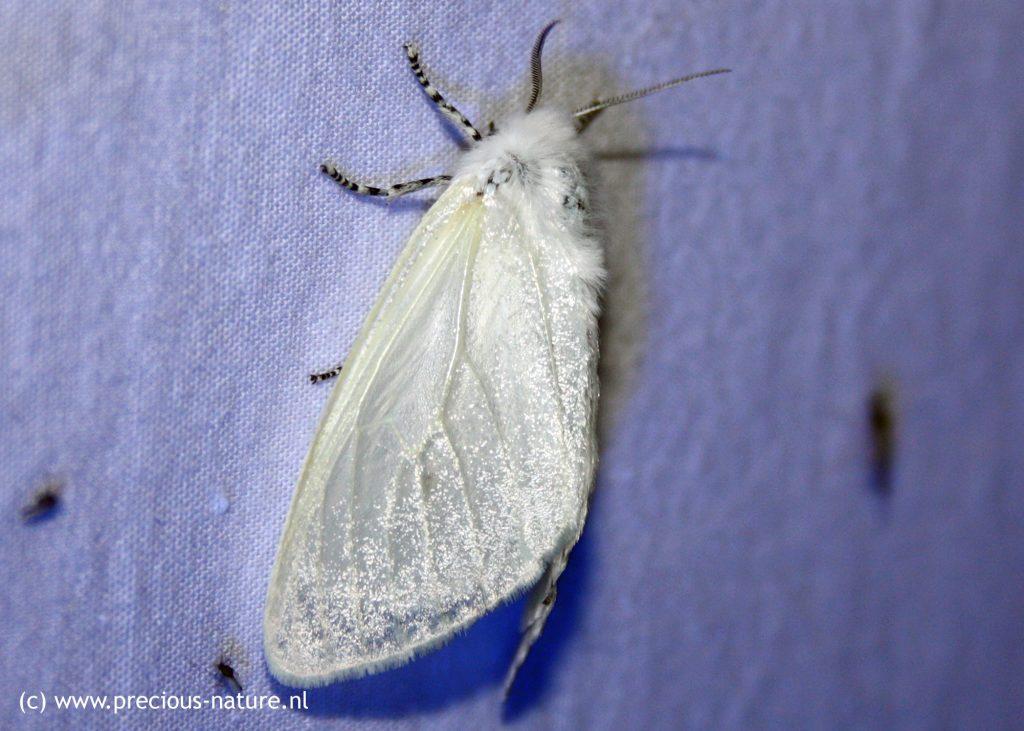 Satijnvlinder (vrouwtje) - 2018