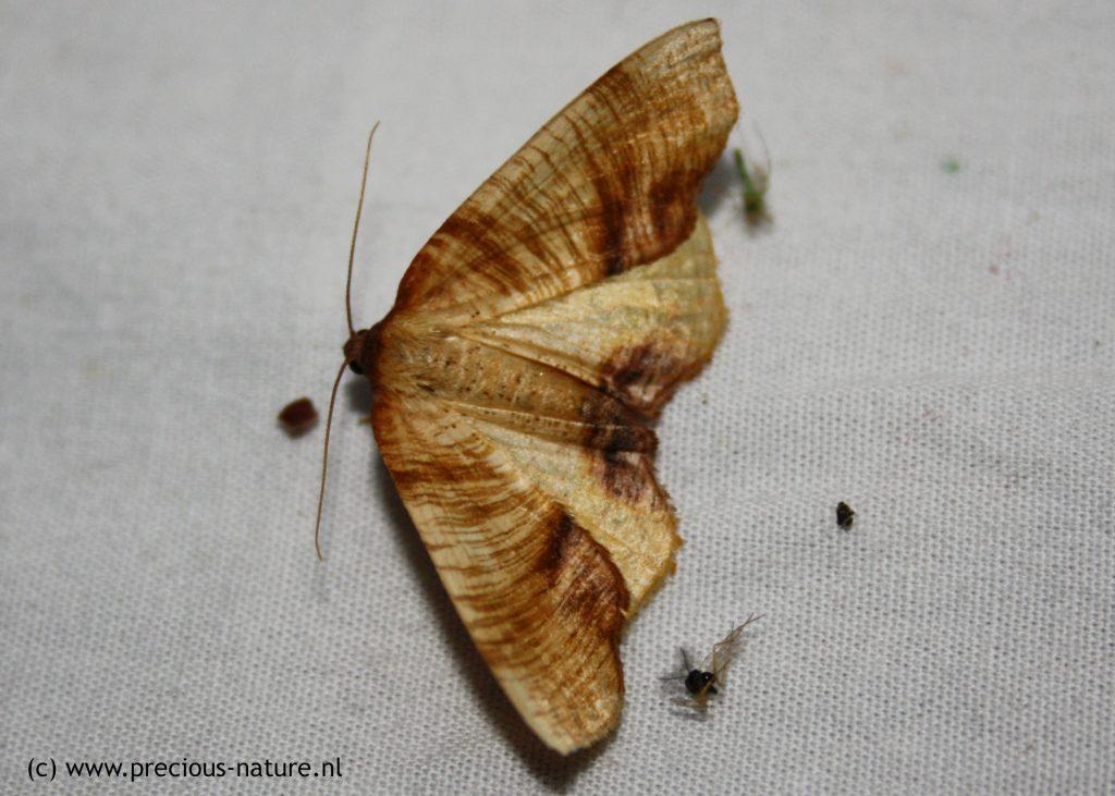 Lindeknotsvlinder - 2018