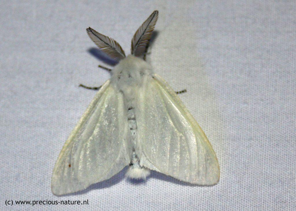 Satijnvlinder (mannetje) - 2018