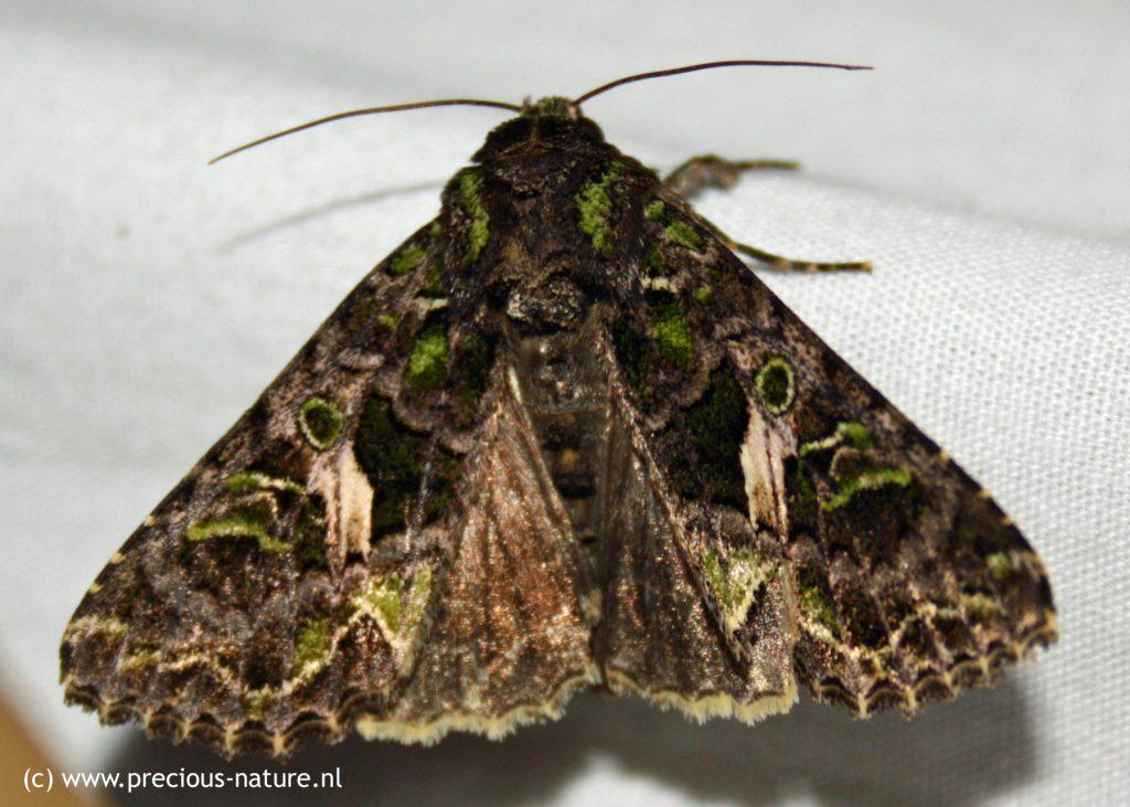 Orache Moth - 2018