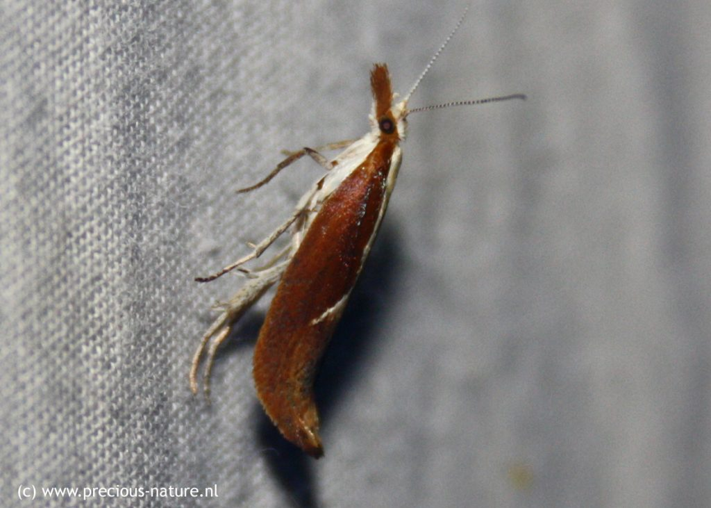 Honeysuckle Moth - 2018