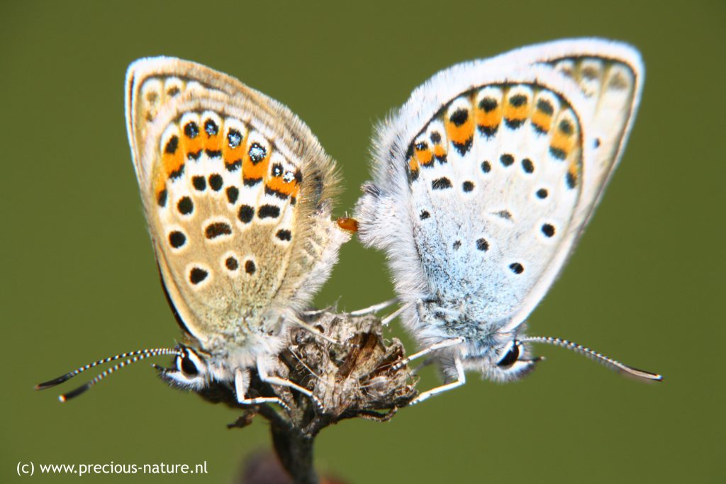 Silver-studded Blue - 2018