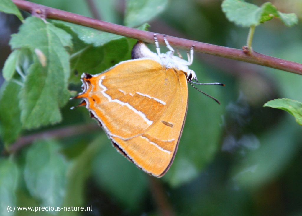 Brown Hairstreak - 2018
