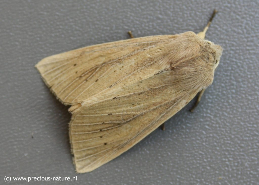 Large Wainscot - 2018