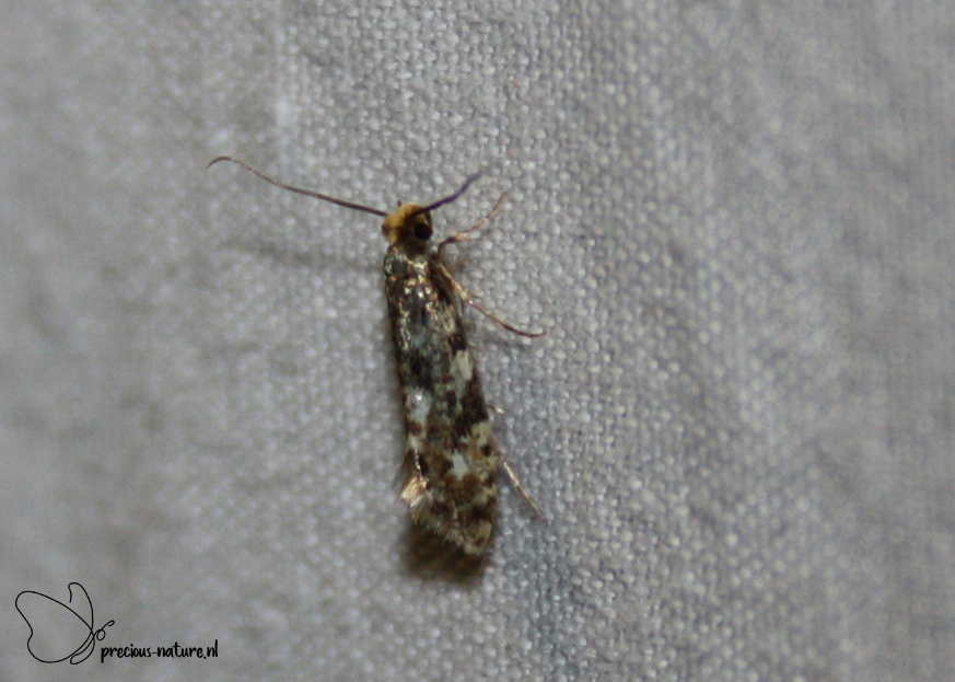 Cork Moth - 2019