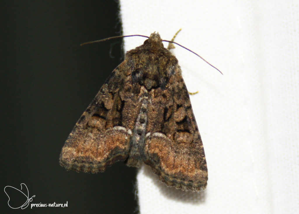 Tawny Marbled Minor - 2019