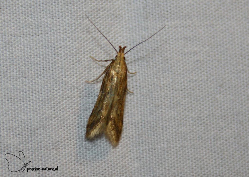Seedhead Moth - 2019
