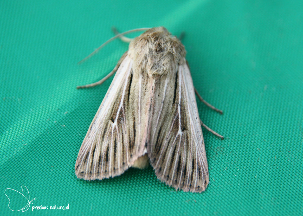 Shoulder-striped Wainscot - 2019