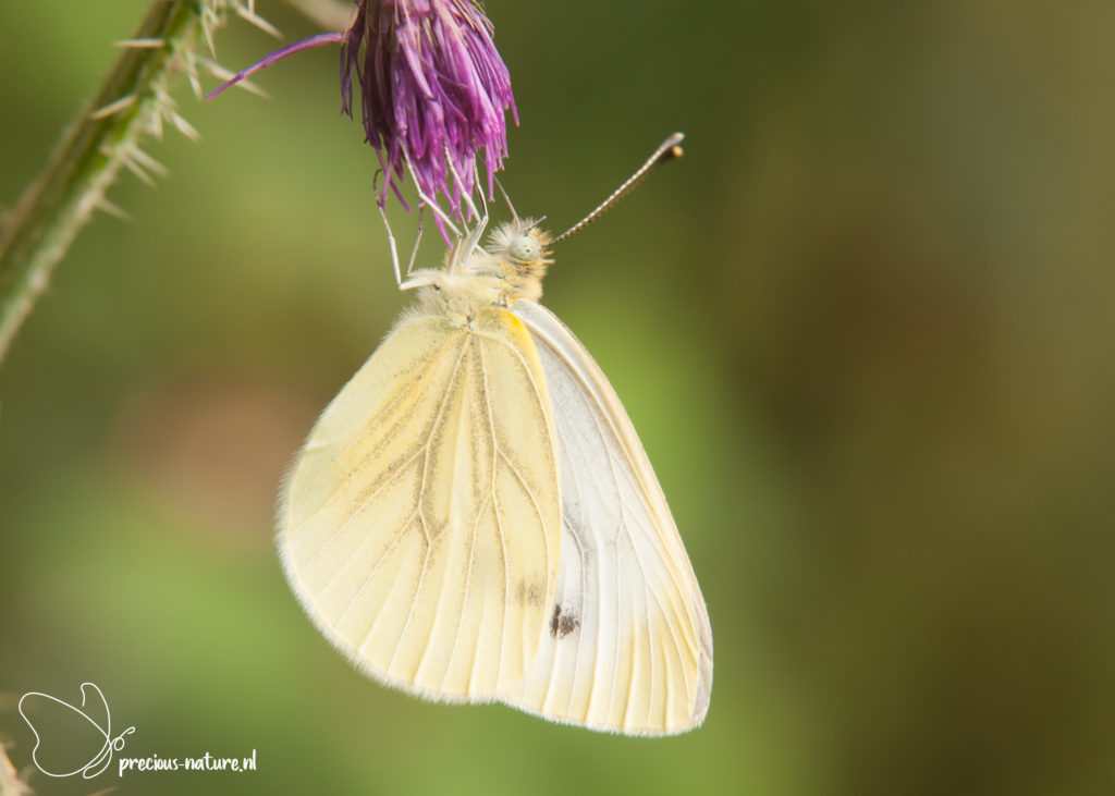 Green-veined White - 2019