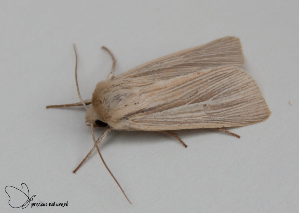 Common Wainscot - 2019