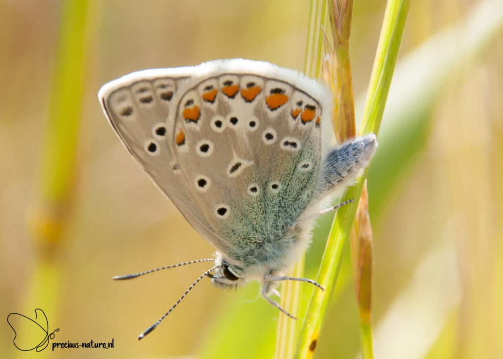 Common Blue- 2019