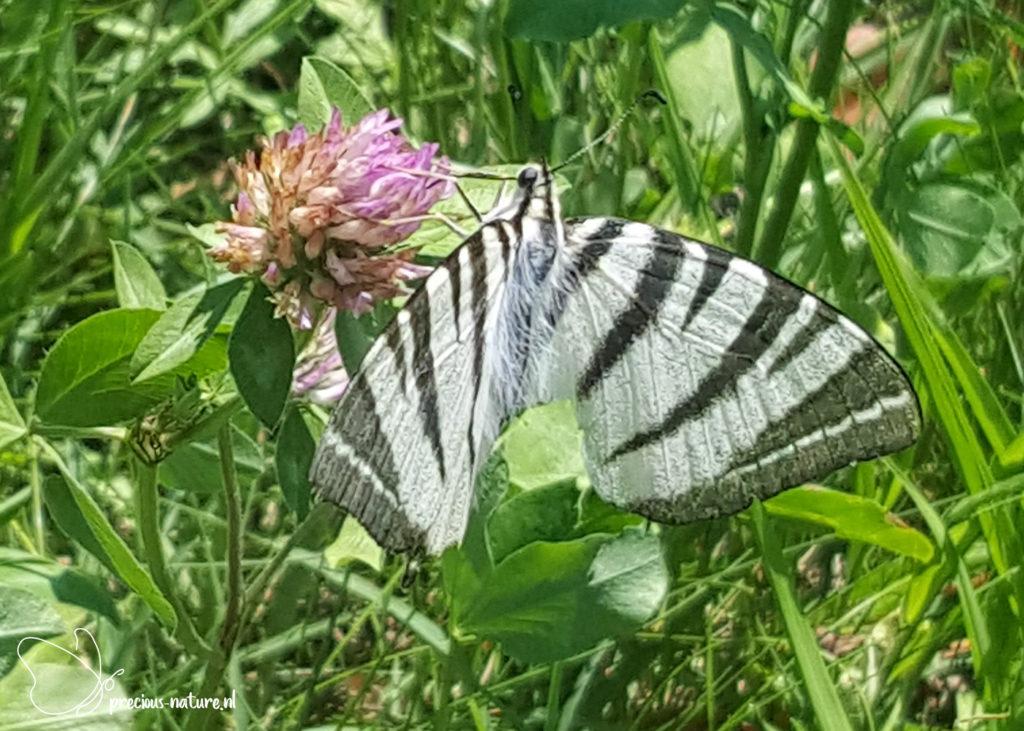 Scarce Swallowtail - 2019