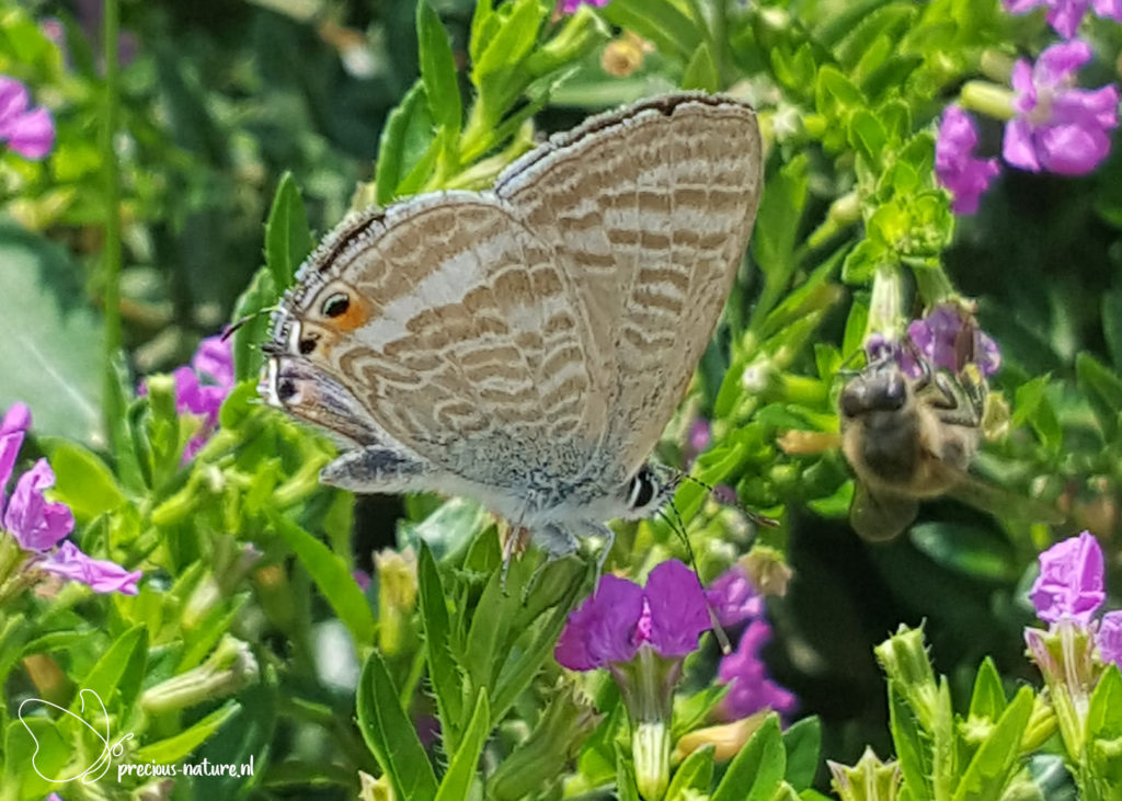 Long-tailed Blue - 2019
