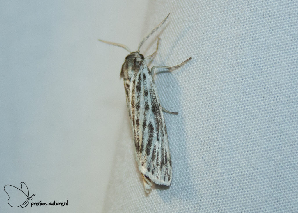 Speckled Footman - 2019