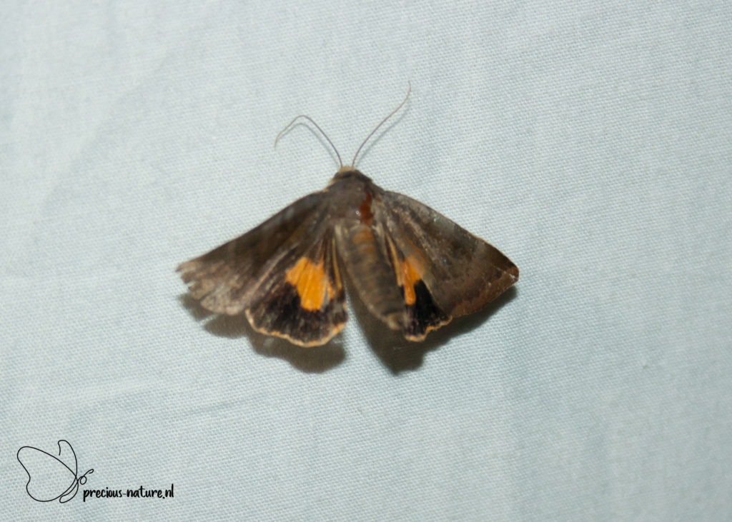 Langmaid's Yellow Underwing - 2019