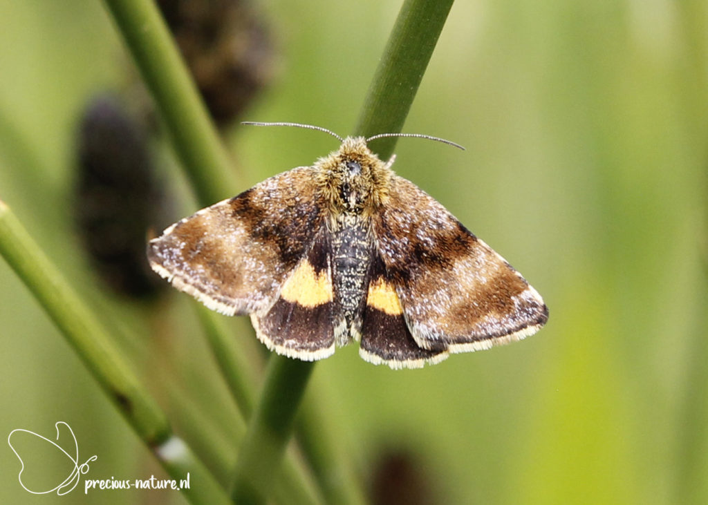 Small Yellow Underwing - 2020