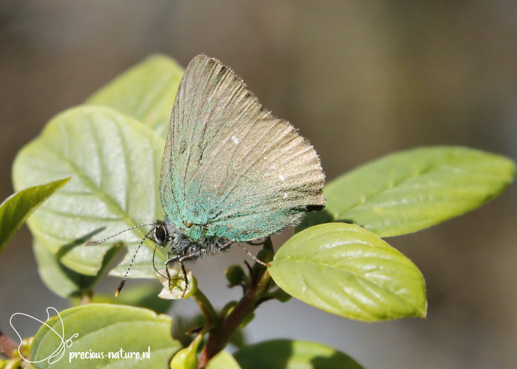 Green Hairstreak - 2020