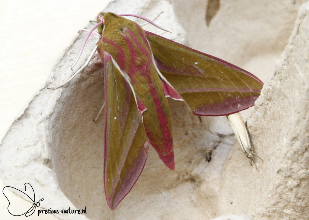 Elephant Hawk-moth - 2020