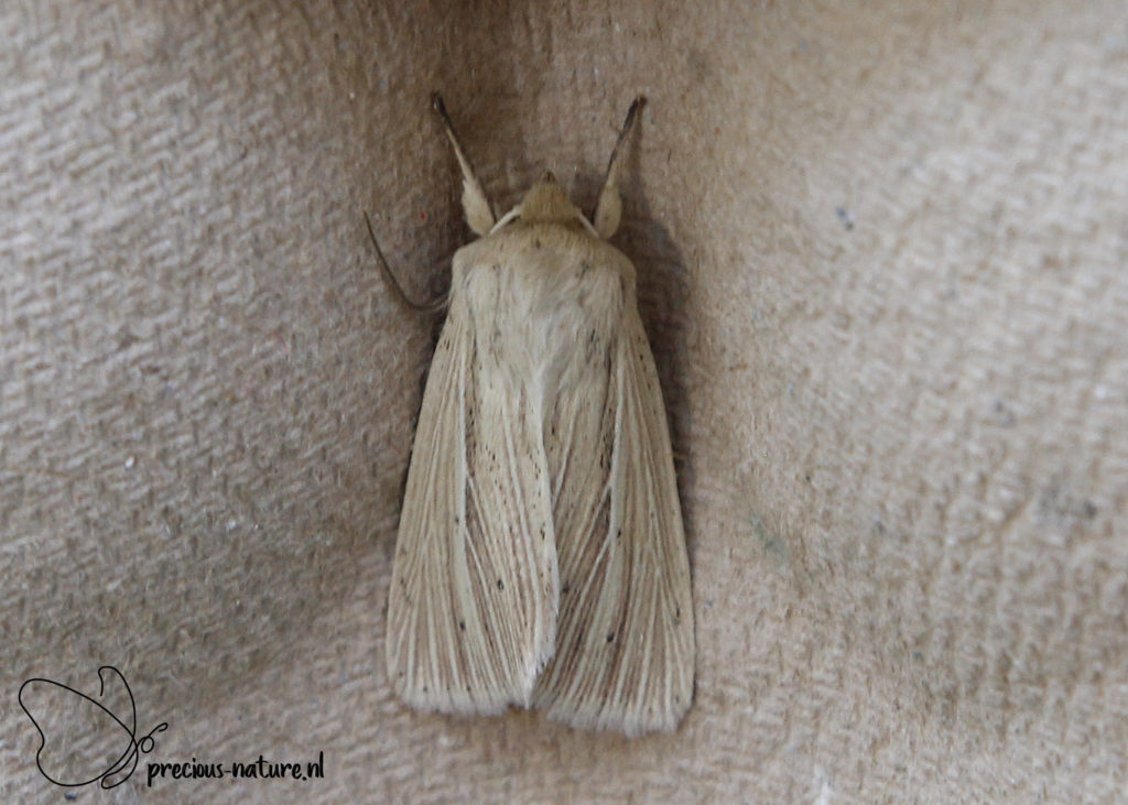 Common Wainscot - 2020