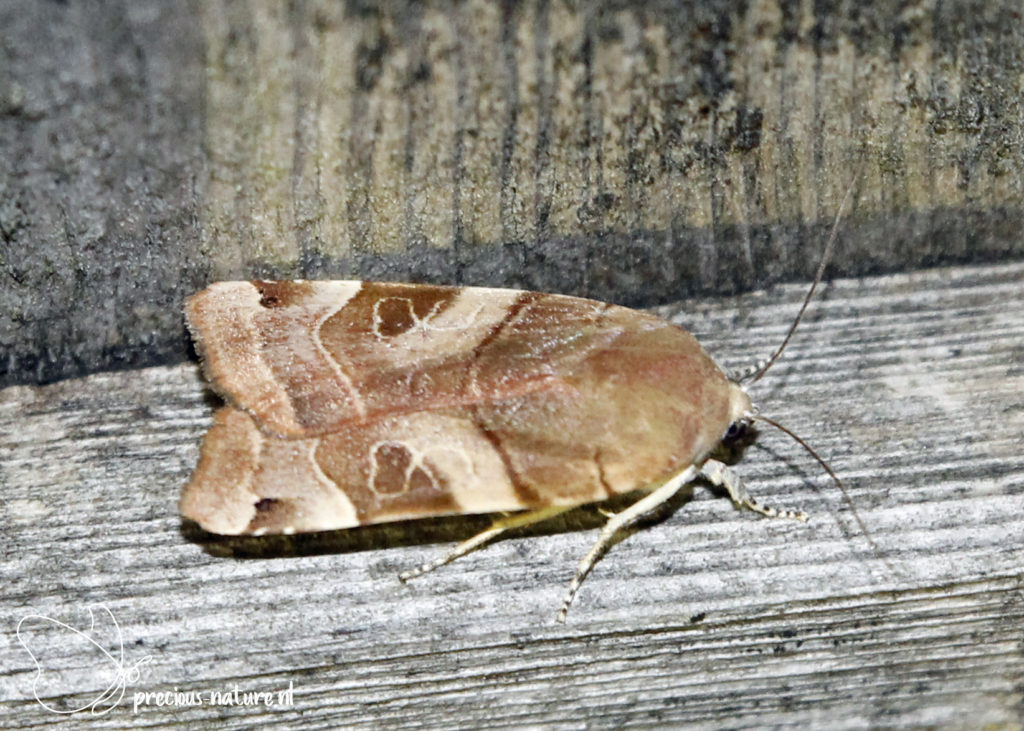 Broad-bordered Yellow Underwing - 2020