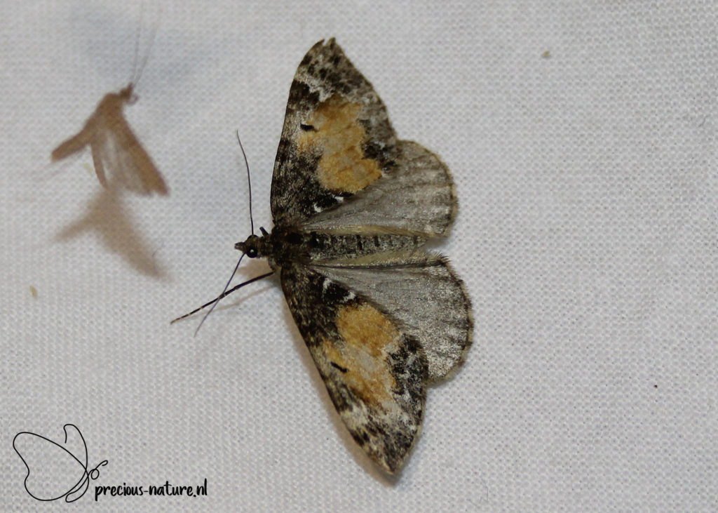Common Marbled Carpet - 2020