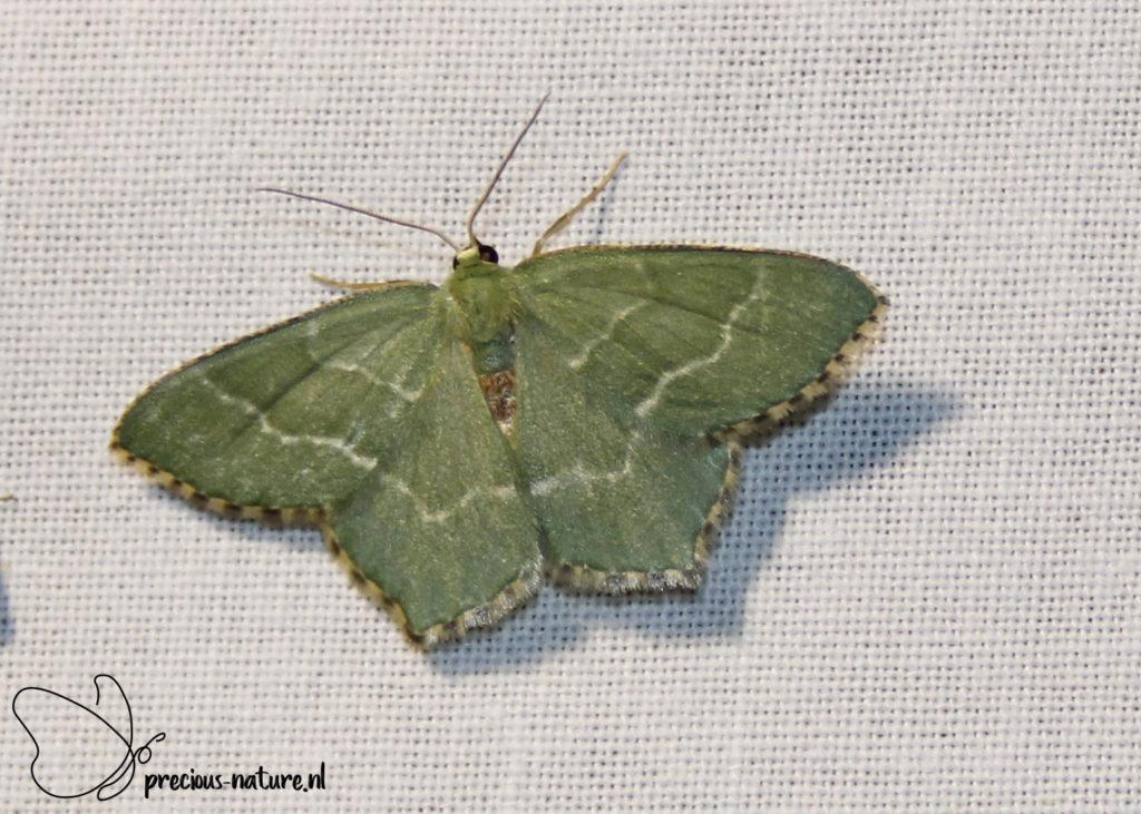 Common Emerald - 2020