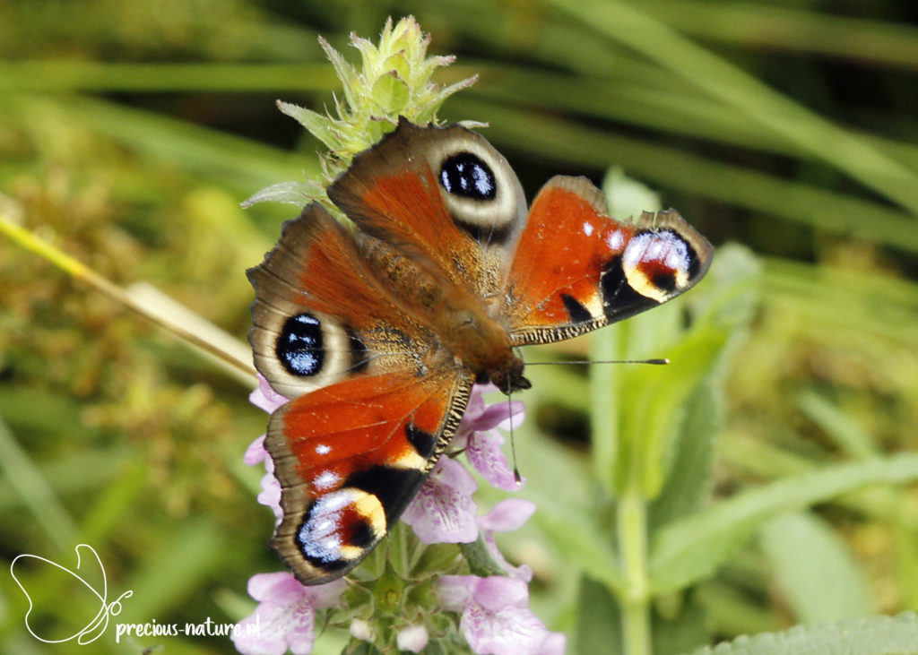 Peacock Butterfly - 2020