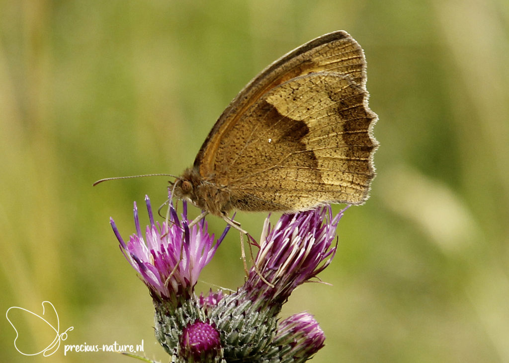 Meadow Brown - 2020