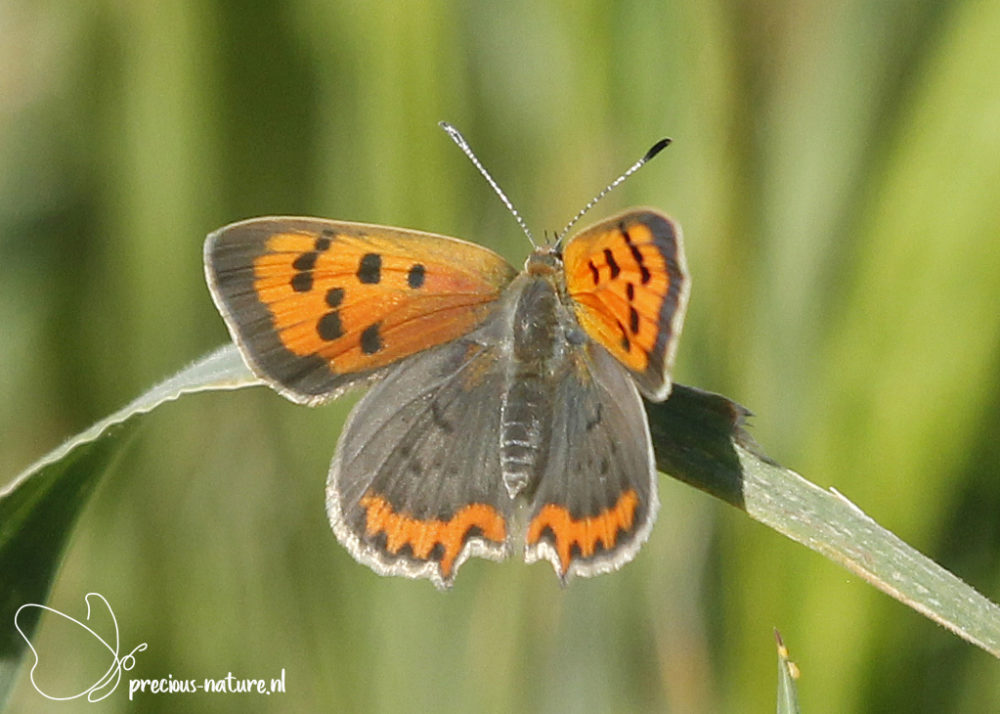 Small Copper - 2020