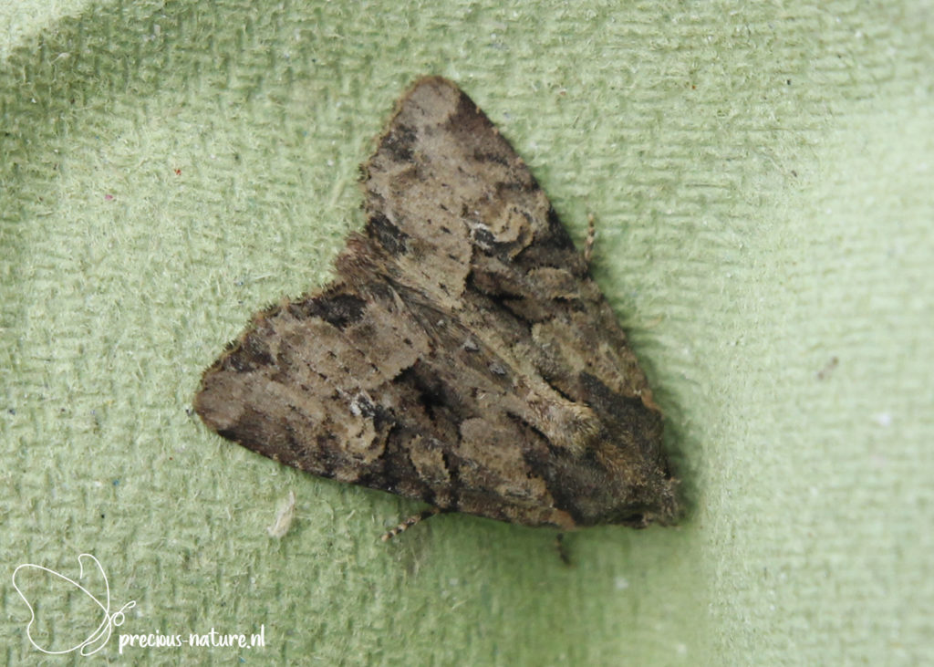Common Rustic - 2020