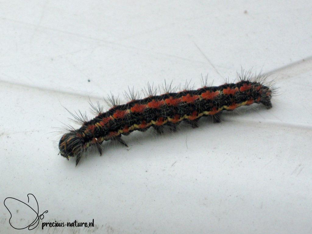 Reed Dagger (caterpillar) - 2009